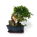 Bonsai 5 ani Zelkova Parvifolia
