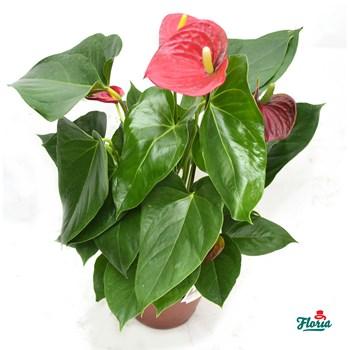 Anthurium pitic rosu - Plante de apartament